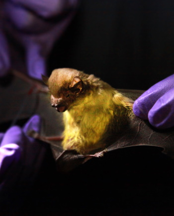 A bat being examined
